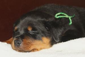 hondje slaperig