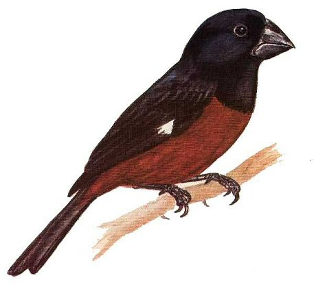 zangvogel