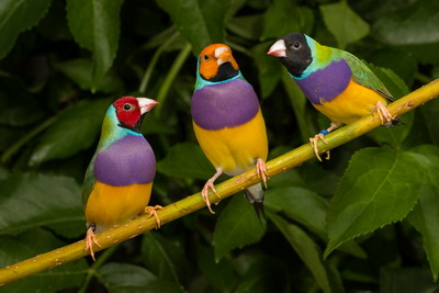 males of the Gouldian finch. All three color morphes occur in the wild black is the most common red comes second and yellow-headed is extremly rare.