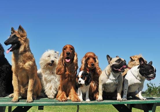 liggend_99293-Hoeveel-honden-zijn-er-in-Nederland