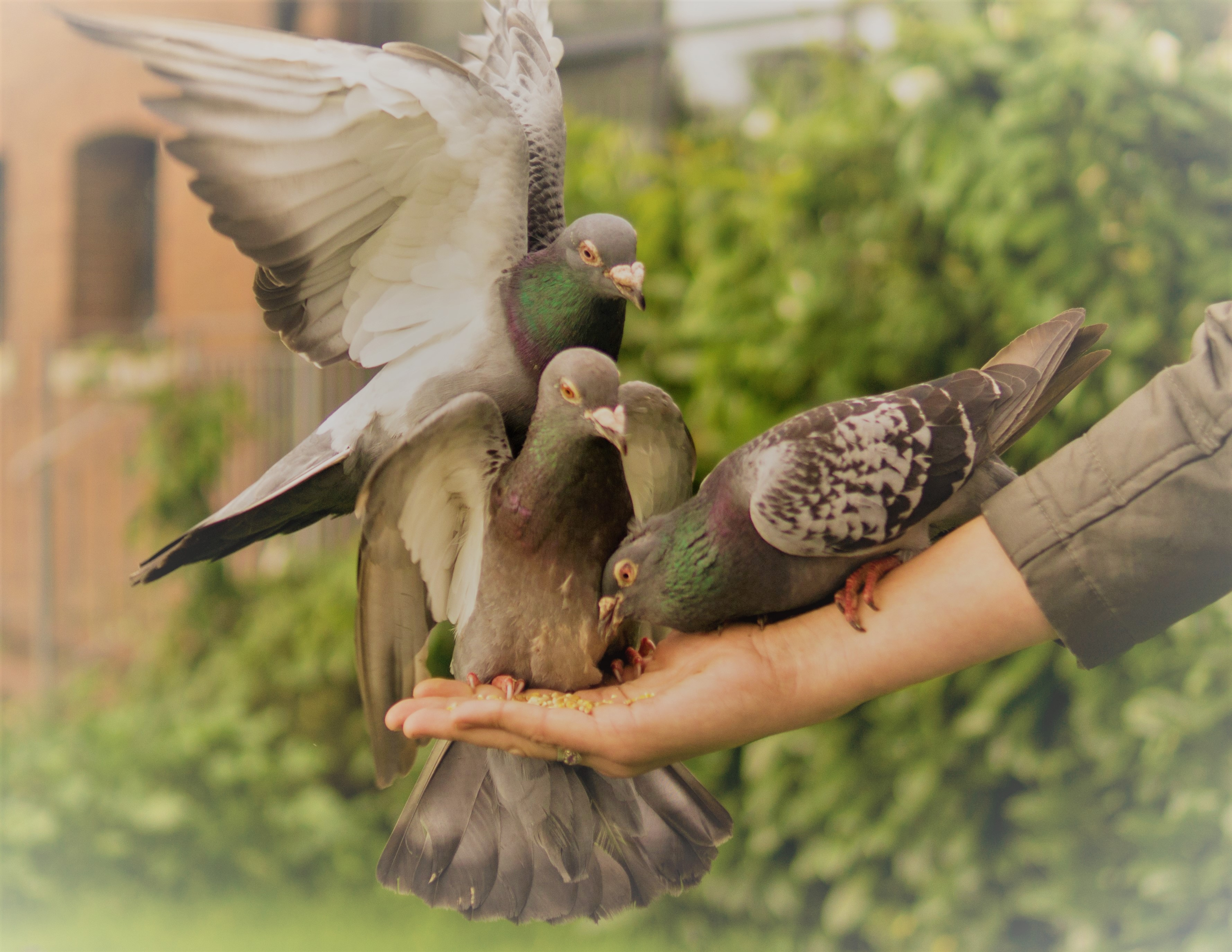 bird-hand-animal-pigeon bewerkt
