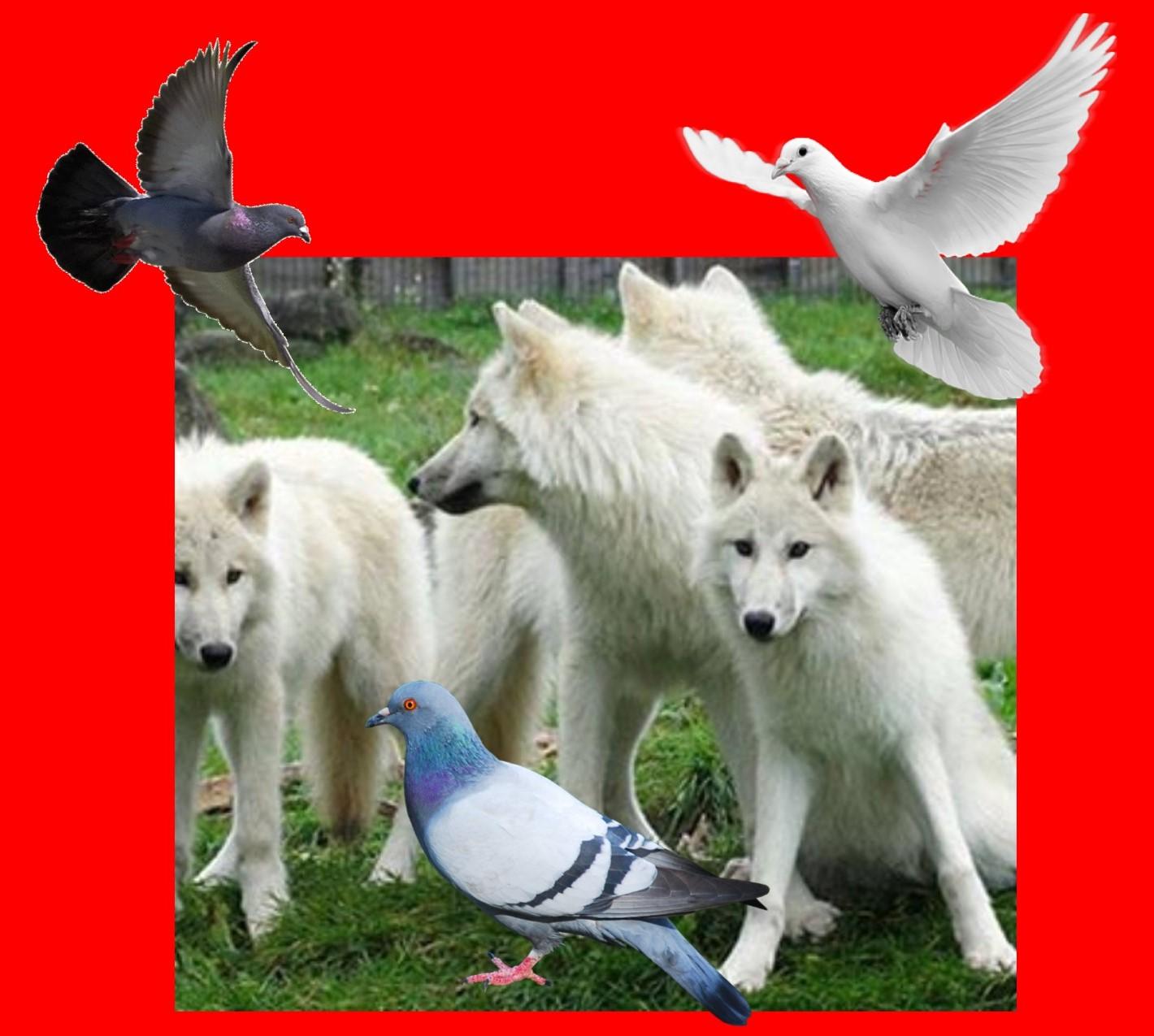 duiven en wolven 2e